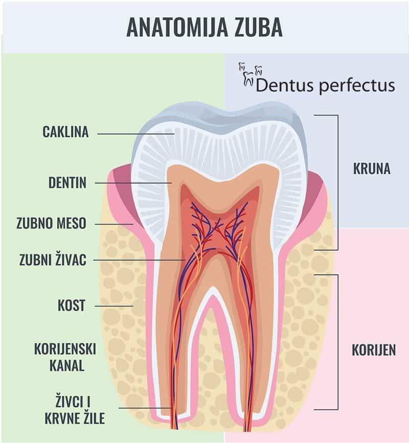 Dentus perfectus - anatomija zuba